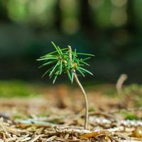 infant pine tree